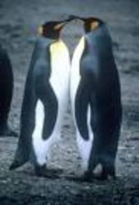 Penguins_2