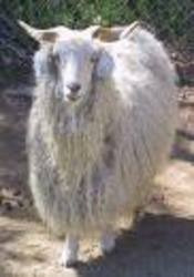 ...ангорской козы.