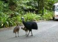 Cassowary_with_chicks